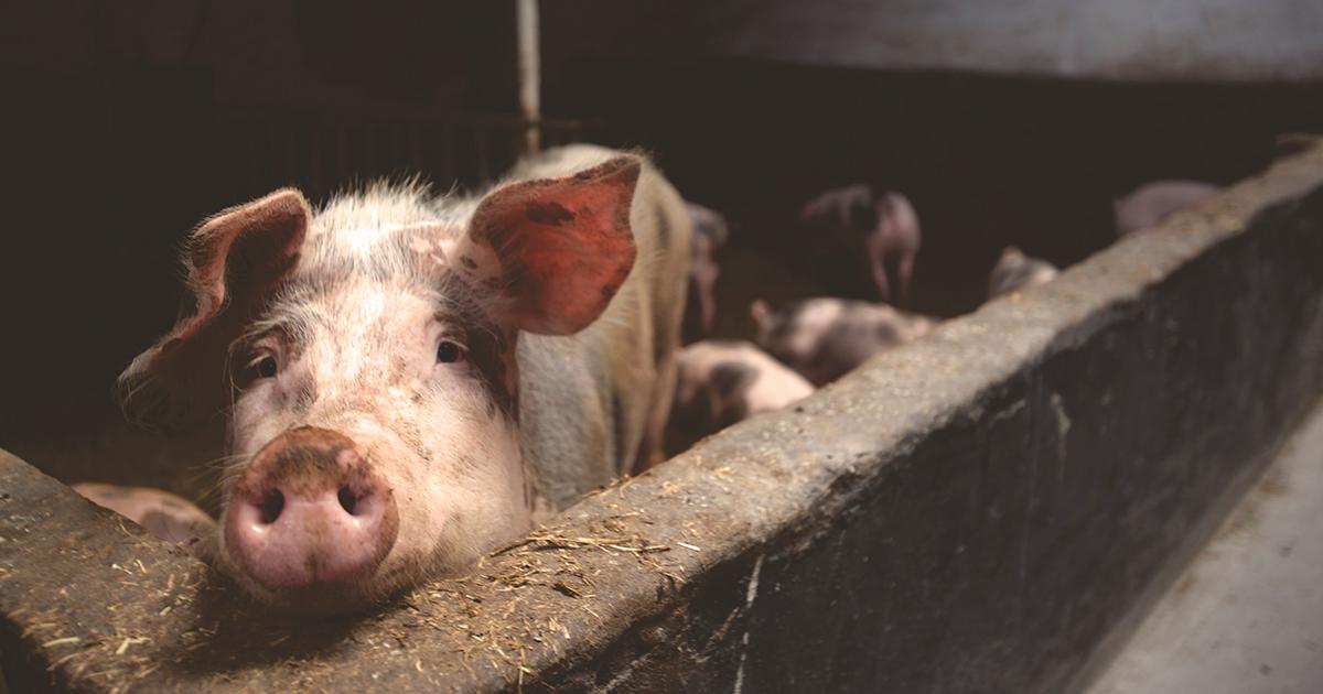 Ведите себя как свинья: как владельцу добиться максимума от SEO-подрядчика